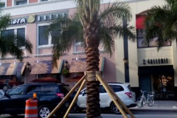 palm tree in median supported by poles