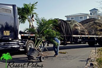 guy moving palm tree on a dolly