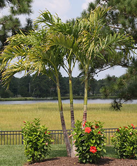Florida Palm Tree Products Wholesale Tropical Tree Supplier Fl